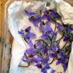Comment conserver des fleurs de bourrache ?